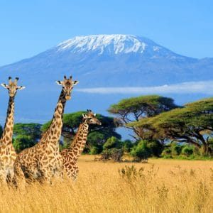 Three giraffes with Mt Kilimanjaro in the background
